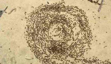 Karıncaların Ölüm Çemberi